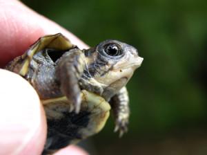 Wolf Island Prairie Turtle Walk @ Wolf Island Prairie | Reidsville | North Carolina | United States